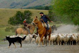 Mustering_sheep_in_Patagonia